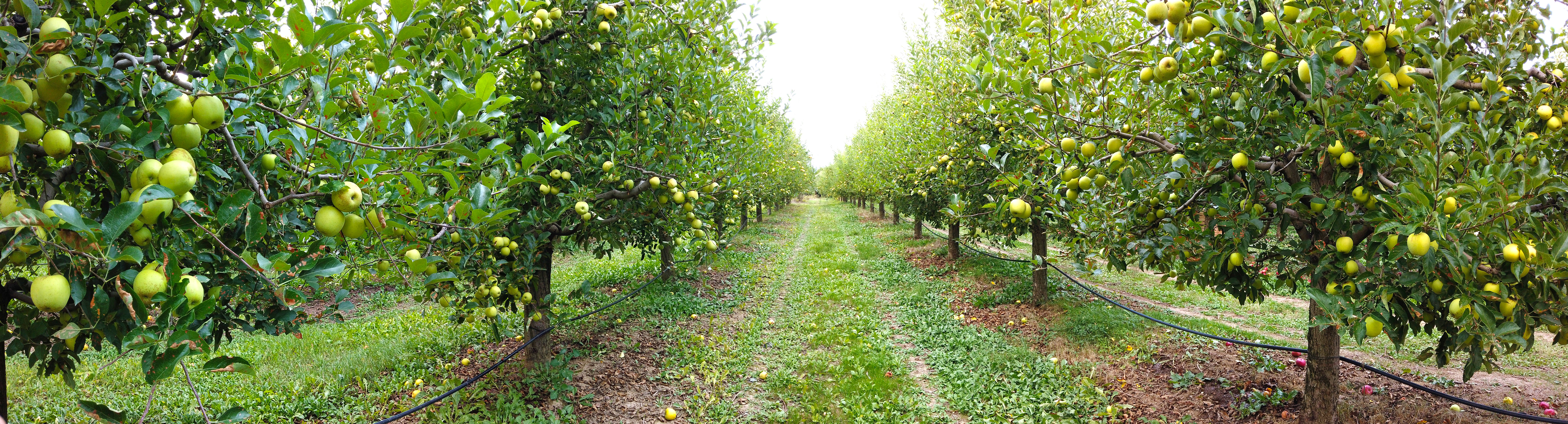 ripe apples in an orchard ready for harvesting panorama
